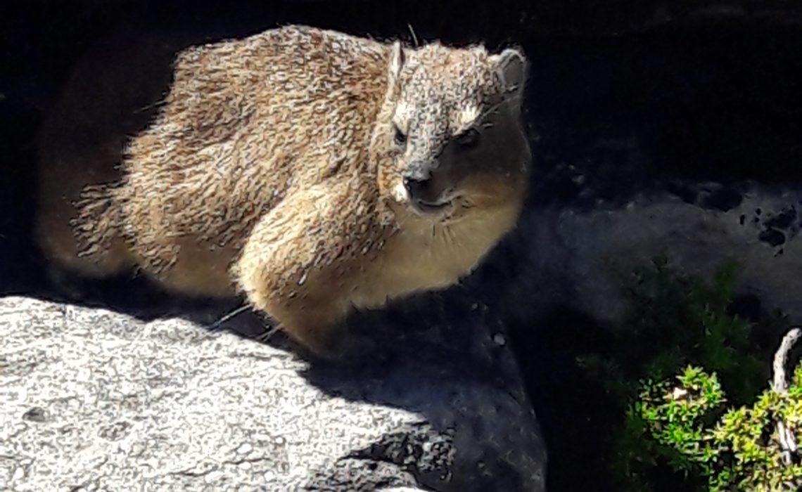 Un dassi, animal de la montagne de la Table