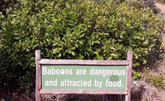 Babouins au Cap Bonne-Espérance
