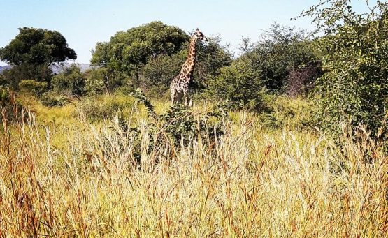 Girafe Pilanesberg