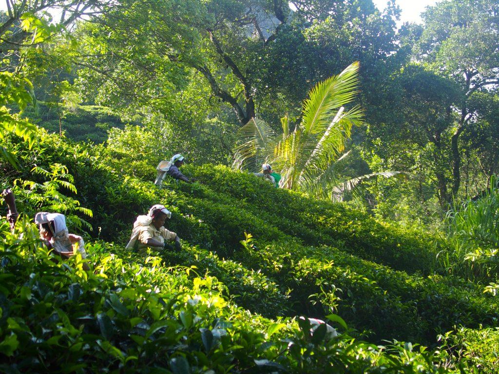 plantations de thé, Sri-Lanka