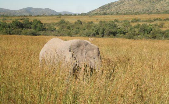 Elephants Pilanesberg