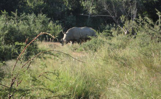 Rhinocéros Pilanesberg