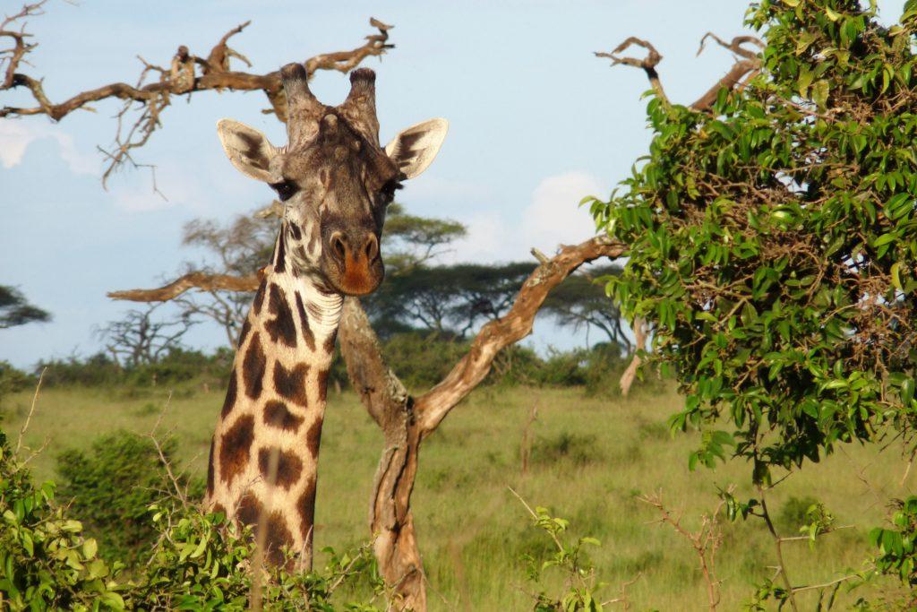 Girafe Tanzanie