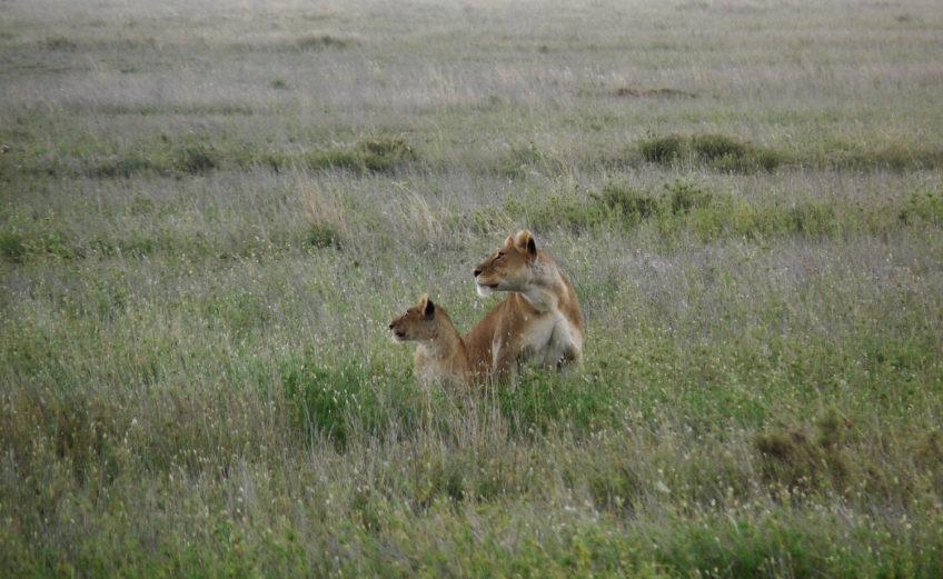 Couple lion