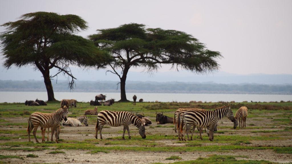 Zebras Crescent Island