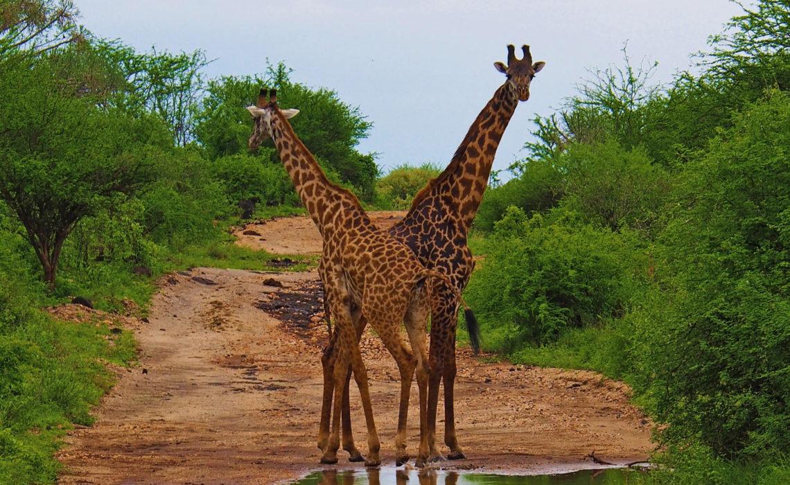 Girafe - Tsavo Ouest