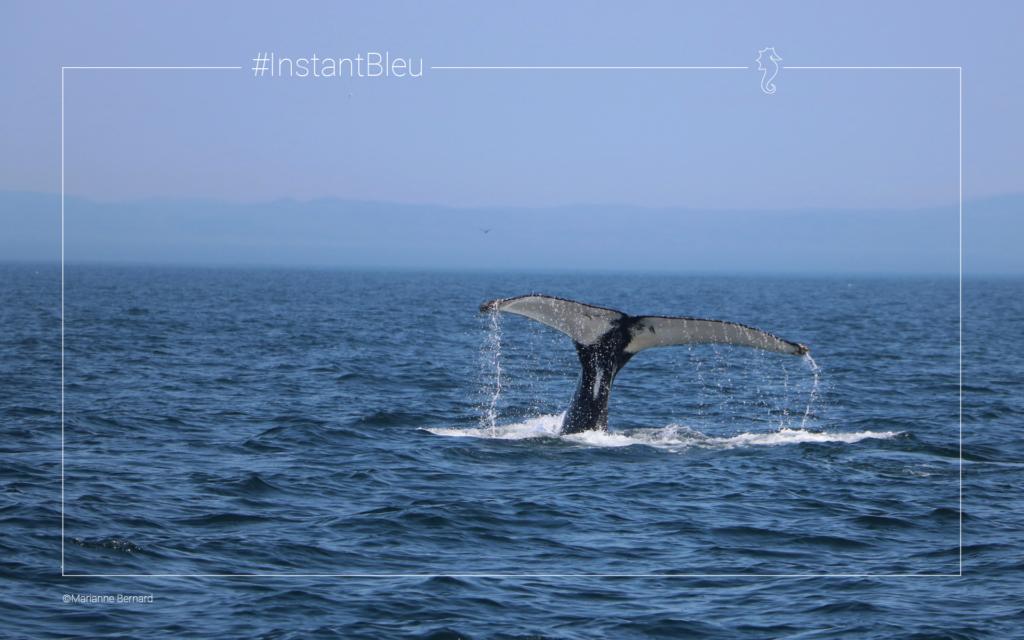 baleine à bosse dans le fleuve Saint Laurent - fonds d'écran