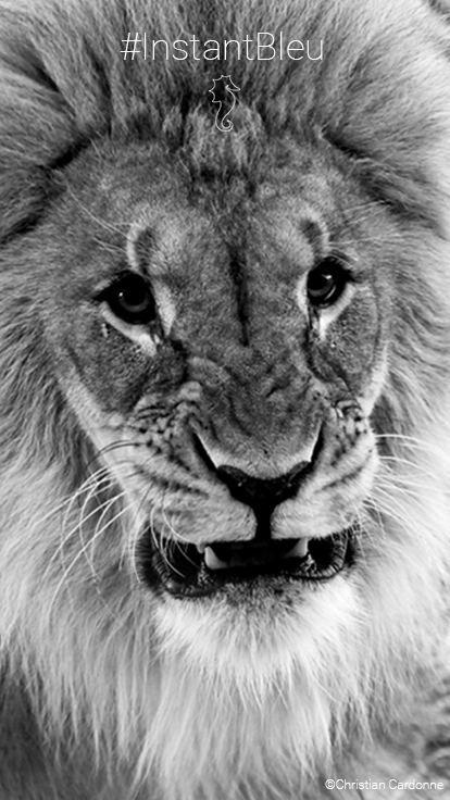 Portrait de lion en noir et blanc - fonds d'écran