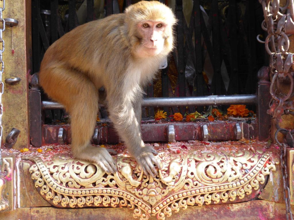 Népal, Katmandou singe à Swayambhunath