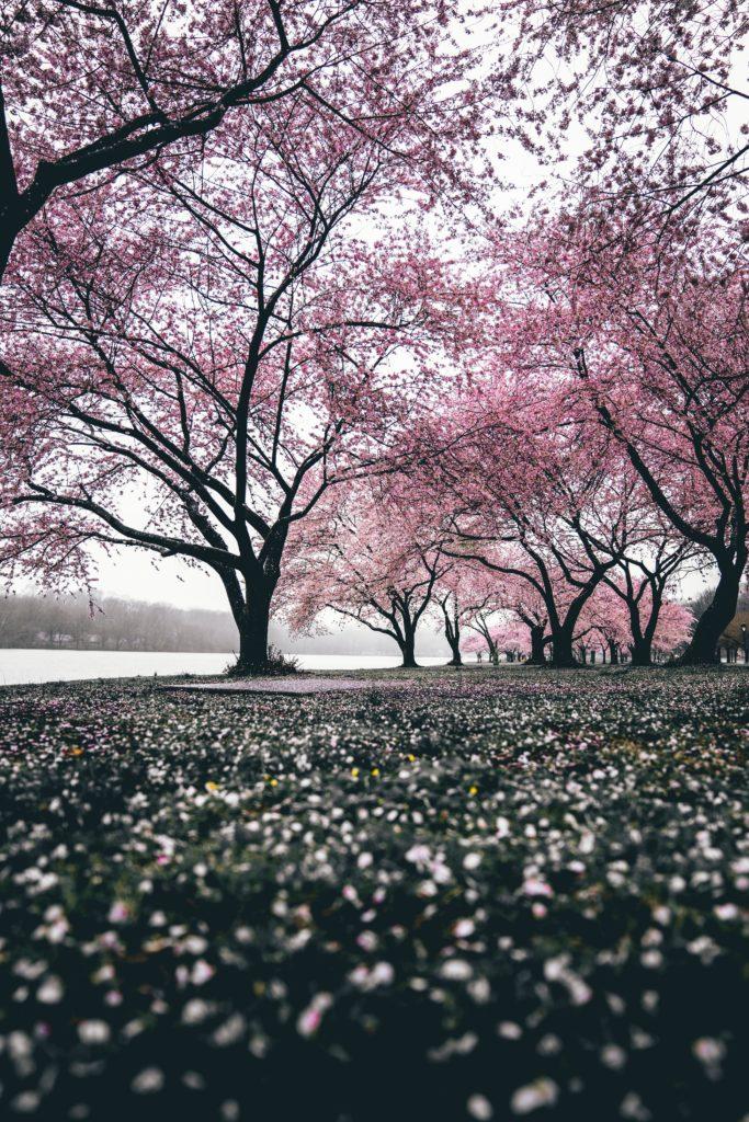 sakura - hanami - japon