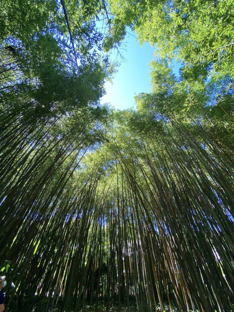 Fôret de bambous à la Bambouseraie des Cévennes en Camargue